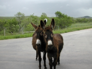 Burros on the Road