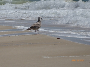 Bird Enjoying the Surf, St. George Island