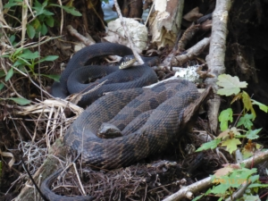 Snakes Sunning Themselves on Stump