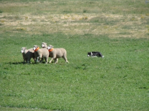 Meeker Sheepdog Championship Trials