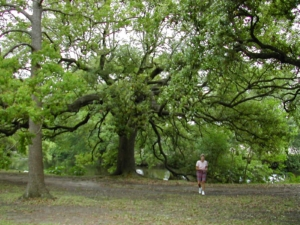 Incredible Tree in Audubon Park, New Orleans