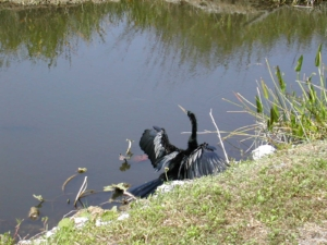 Anhinga, the Everglades